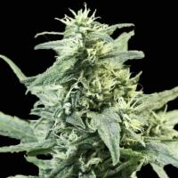 Golden Haze Feminised Cannabis Seeds | Devil's Harvest Seeds