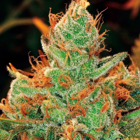 Gorilla Lilly Feminised Cannabis Seeds | Expert Seeds