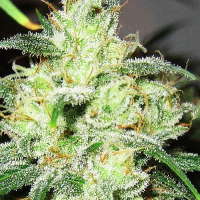 Gorilla Cheese Feminised Cannabis Seeds | Expert Seeds