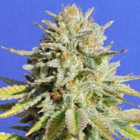 Gorilla Glue #4 Feminised Cannabis Seeds   Original Sensible Seeds Company