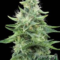 Gorilla Candy Feminised Cannabis Seeds | Eva Female Seeds