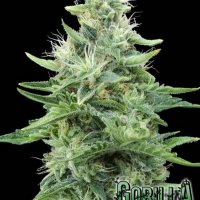 Gorilla Candy Feminised Cannabis Seeds   Eva Female Seeds