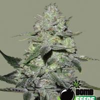 Gorilla Bomb Feminised Cannabis Seeds | Bomb Seeds