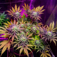 Gorillagasm Feminised Cannabis Seeds | Top Shelf Elite