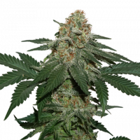 Grandaddy Confidential Kush Feminised Cannabis Seeds | Seed Stockers