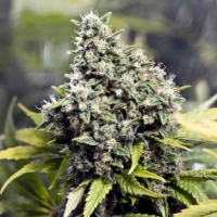 Grapefruit Feminised Cannabis Seeds | Female Seeds