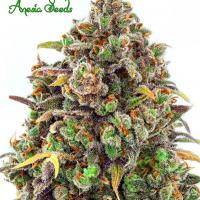 Haze Queen Feminised Cannabis Seeds - Anesia Seeds