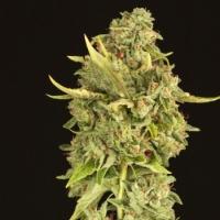 Hell's Bells Regular Cannabis Seeds | Devil's Harvest Seeds