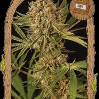 Herz OG Feminised Cannabis Seeds   Exotic Seeds
