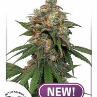 HiFi 4G Feminised Cannabis Seeds   Dutch Passion