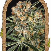 Hippie Therapy CBD Auto Feminised Cannabis Seeds | Exotic Seeds
