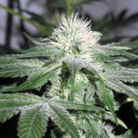 ICE Feminised Cannabis Seeds | Female Seeds
