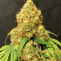 Orange Cookies Auto - Tastebudz - Discount Cannabis Seeds