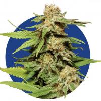 Grape Ape Feminised Cannabis Seeds | 100 Bulk Seeds