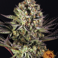 Dos-Si-Dos #33 Feminised Cannabis Seeds | Barney's Farm
