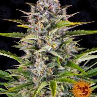 Gorilla Zkittlez Auto Feminised Cannabis Seeds   Barney's Farm