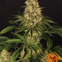 Tropicanna Banana Feminised Cannabis Seeds | Barney's Farm