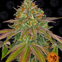 Wedding Cake Feminised Cannabis Seeds | Barney's Farm