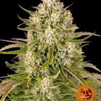Wedding Cake Auto Feminised Cannabis Seeds | Barney's Farm