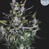 Blue Monsoon Feminised Cannabis Seeds - Pilchard's