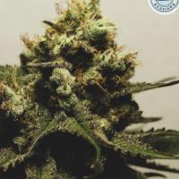 Pina O Nada Feminised Cannabis Seeds - Pilchard's