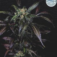 Purple Pearl Feminised Cannabis Seeds - Pilchard's