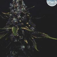 Surf'n'Turf Feminised Cannabis Seeds - Pilchard's