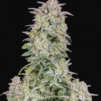 Auto Forbidden Runtz Feminised Cannabis Seeds | Fast Buds