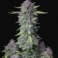 Auto Purple Punch Feminised Cannabis Seeds | Fast Buds