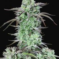 Auto Strawberry Banana Feminised Cannabis Seeds | Fast Buds