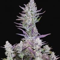 Auto Wedding Glue Feminised Cannabis Seeds | Fast Buds
