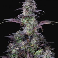 Auto Blueberry Feminised cannabis Seeds | Fast Buds Originals.