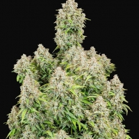 Auto Cinderella Feminised cannabis Seeds | Fast Buds Originals.