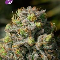 Iceberg Feminised Cannabis Seeds - Anesia Seeds