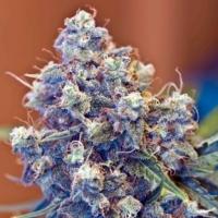 Iced Grapefruit Feminised Cannabis Seeds | Female Seeds