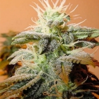 Indoor Mix Feminised Cannabis Seeds | Female Seeds