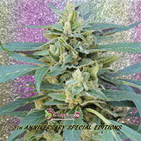 Jammy Auto Feminised Cannabis Seeds | Dr Krippling