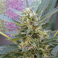Jumping Jack Dash Auto Feminised Cannabis Seeds | Dr Krippling