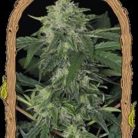 Jungle Fever Auto Feminised Cannabis Seeds | Exotic Seeds