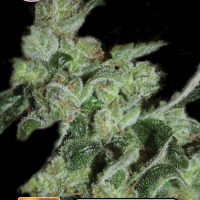 Pineapple Sativa Feminised Cannabis Seeds | Kera Seeds