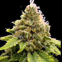 Karel's Dank Regular Cannabis Seeds - Super Sativa Seed Club