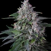 Karel's Hsze Regular Cannabis Seeds - Super Sativa Seed Club