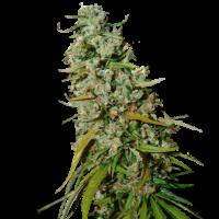 Kee's Old School Haze Regular Cannabis Seeds - Super Sativa Seed Club