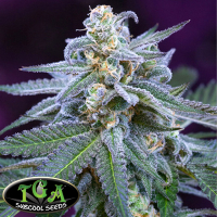 Killer Grape Regular Cannabis Seeds| TGA Seeds