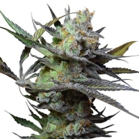 King Kong Feminised Cannabis Seeds | Big Buddha Seeds