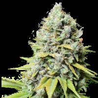 Kosher Haze Feminised Cannabis Seeds - Super Sativa Seed Club