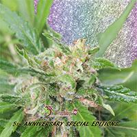 Kripplicious Feminised Cannabis Seeds   Dr Krippling