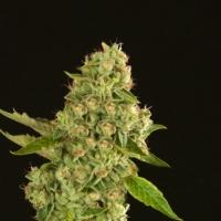 Kuchi Feminised Cannabis Seeds | Devil's Harvest Seeds