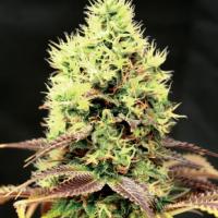 Kush n Cookies CBD Feminised Cannabis Seeds | Garden of GreenKush n Cookies CBD Feminised Cannabis Seeds | Garden of Green