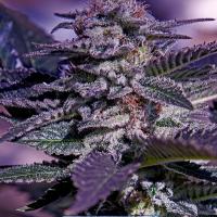 Kush Express Auto Feminised Cannabis Seeds | Positronics